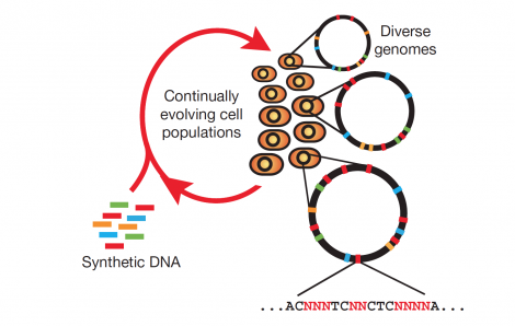 Multiplex automated genome engineering enables the rapid and continuous generation of sequence diversity at many targeted chromosomal locations across a large population of cells through the repeated introduction of synthetic DNA.