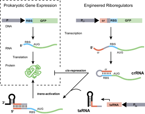 Engineered Riboregulation. The engineered riboregulation system contains a short sequence (cis-repressed, cr, red) inserted downstream of a promoter (Pcr) and upstream of the ribosome binding site (RBS. blue). Following transcription, the cr sequence, which is complementary to the RBS, drives the formation of a stem-loop in the 5'-UTR that prevents ribosome docking and represses translation (cis-repression). The resulting mRNA is referred to as cis-repressed RNA (crRNA). A second independent promoter (Pta) is responsible for the transcription of a small, noncoding RNA (trans-activating RNA, taRNA), which targets its cognate crRNA with high specificity. The subsequent RNA-RNA linear-loop interaction promotes structural rearrangement of the crRNA, thus exposing the obstructed RBS and enabling translation.